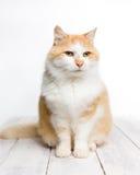 Gato de pelo largo rojo y blanco que se sienta en el piso blanco imágenes de archivo libres de regalías