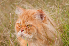 Gato de Persia imagenes de archivo
