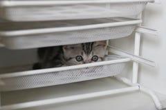 Gato de plata Imagenes de archivo