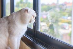 Gato de plata del doblez del escocés Foto de archivo