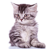 Gato de plata lindo del bebé del tabby Foto de archivo libre de regalías