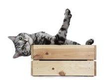 Gato de plata negro hermoso de británicos Shorthair del gato atigrado que cuelga al revés sobre el borde en la caja de madera ais Fotografía de archivo libre de regalías