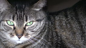 Gato de Potrait almacen de video