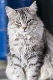 Gato de prata bonito da raça siberian no jardim Fotografia de Stock
