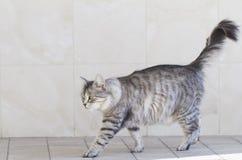 Gato de prata bonito da raça siberian no jardim Imagem de Stock Royalty Free