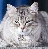 Gato de prata bonito da raça siberian no jardim Fotos de Stock