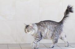 Gato de prata bonito da raça siberian no jardim Foto de Stock