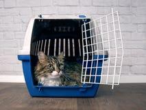 Gato de racum bonito de maine que senta-se em um portador aberto do animal de estimação e que olha lateralmente imagem de stock royalty free