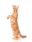 Gato de racum brincalhão de maine que está nos pés traseiros Isolado no branco Imagem de Stock Royalty Free