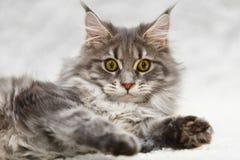 Gato de racum cinzento de maine com os olhos amarelos que levantam no fundo branco fotografia de stock