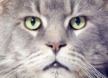 Gato de racum de Maine fotografia de stock