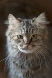 Gato de racum de Maine Imagens de Stock