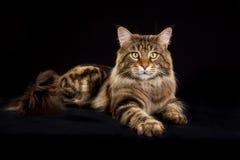 Gato de racum de Maine Imagens de Stock Royalty Free