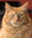 Gato de racum de Maine Imagem de Stock Royalty Free
