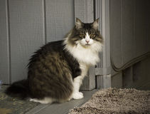 Gato de racum de Maine Fotografia de Stock Royalty Free
