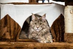 Gato de racum de Maine Fotos de Stock Royalty Free