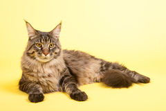 Gato de racum de Maine no amarelo pastel Fotos de Stock Royalty Free