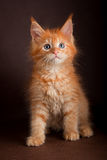 Gato de racum de Maine no fundo marrom preto Fotos de Stock Royalty Free