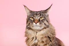 Gato de racum de Maine no rosa pastel Imagens de Stock Royalty Free