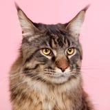 Gato de racum de Maine no rosa pastel Imagens de Stock