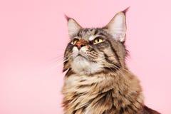 Gato de racum de Maine no rosa pastel Foto de Stock Royalty Free