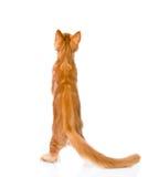 Gato de racum de Maine que está na vista traseira Isolado no fundo branco Foto de Stock