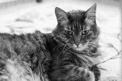 Gato de racum de Maine fotos de stock