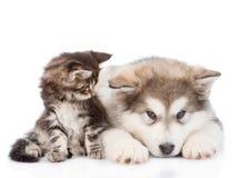 Gato de racum pequeno de maine que olha de vista um cão do malamute do Alasca Isolado no branco fotografia de stock