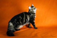 Gato de racum preto de maine no fundo amarelo Imagem de Stock Royalty Free