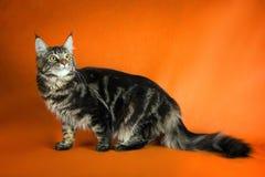 Gato de racum preto de maine no fundo amarelo Fotografia de Stock Royalty Free