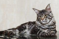 Gato de racum preto de maine que levanta na tabela de vidro imagem de stock