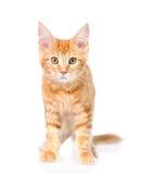 Gato de racum vermelho de maine que está na vista dianteira No CCB branco Fotos de Stock