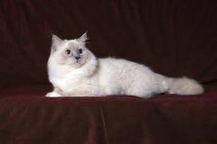 Gato de Ragdoll Fotografia de Stock Royalty Free