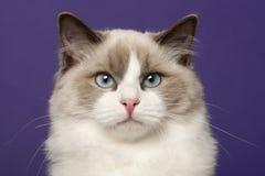 Gato de Ragdoll, 6 meses velho, na frente do roxo Imagem de Stock