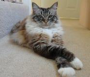 Gato de Ragdoll Imágenes de archivo libres de regalías