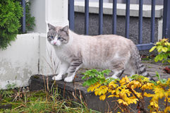 Gato de Ragdoll com olhos azuis Imagem de Stock Royalty Free