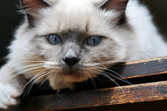 Gato de Ragdoll de los ojos azules en la madera Fotos de archivo libres de regalías