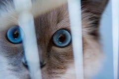 Gato de Ragdoll detrás de las barras Foto de archivo libre de regalías
