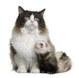 Gato de Ragdoll e uma doninha Foto de Stock Royalty Free