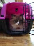 Gato de Ragdoll en un portador imagenes de archivo