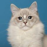 Gato de Ragdoll, o 1 anos de idade, na frente do azul Fotos de Stock