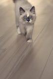 Gato de Ragdoll que anda para você Imagem de Stock Royalty Free
