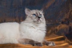 Gato de Ragdoll que encontra-se na tela de bronze brilhante fotos de stock royalty free