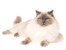 Gato de Ragdoll que miente en el fondo blanco Foto de archivo
