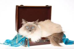 Gato de Ragdoll que miente en maleta en BG blanca Foto de archivo