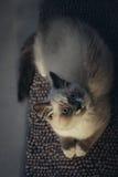 Gato de Ragdoll que miente y que mira para arriba imagen de archivo libre de regalías