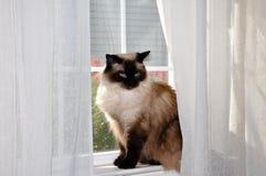 Gato de Ragdoll que se sienta en ventana. Imagenes de archivo