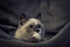 Gato de Ragdoll que senta-se e que olha acima fotografia de stock royalty free