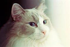 Gato de Ragdoll - tiró con la película análoga fotos de archivo