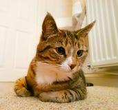 Gato de reclinación Foto de archivo